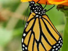 butterfly, caterpillar, monarch