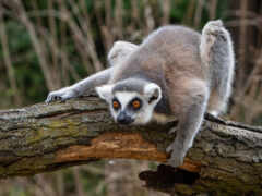 lemur, animal, серый