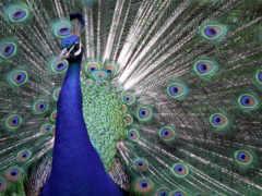 павлин, птица, abstrakciya