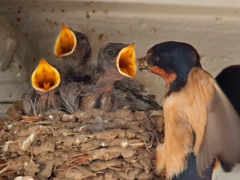 chicks, birds, nest