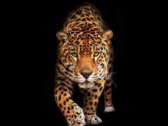 jaguar, фотообои, леопард