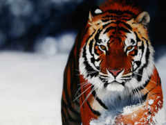 телефон, тигры, заставки