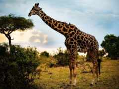 африка, animal, саванна