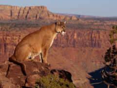 cougar, puma