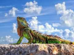 iguana, ящер, новочеркасск