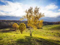 поле, береза, природа