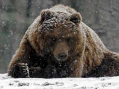 медведь, totem, animal