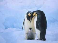 пингвин, семья, animal