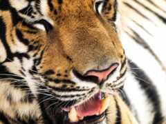 тигр, зуб, детёныш