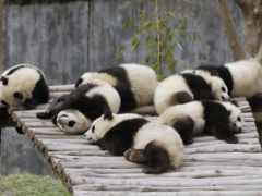 панды, панда, панд