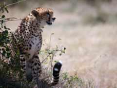 animals, кошки, cheetahs