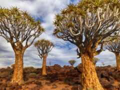 дерево, namibia, колчан