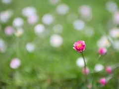 flowers, тюльпан