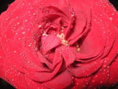 роза, cvety, high