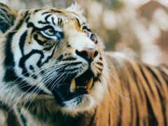 тигр, клыки, animals 4k