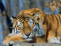 тигр, животное, глаз