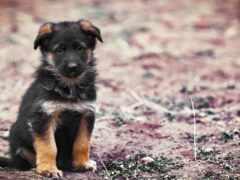 щенок, little, собака