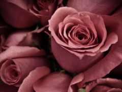 розы, старой, роза