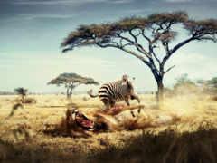 zhivotnye, хищные, zebra