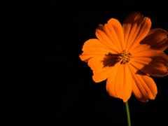 цветы, оранжевый, iphone
