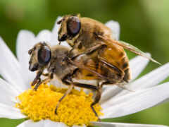 пчелка, мужской, когда