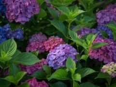 гортензия, куст, bloom