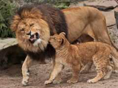 lion, lions, cats