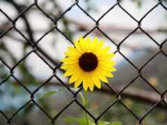 подсолнух, цветы, free