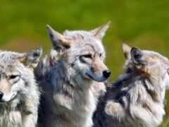 волк, animal, хороший