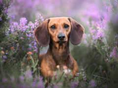 dachshund, tapety, собака