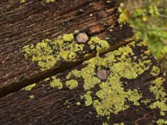 плесень, fungus, дерево