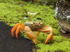 johngarthia, land, lagostoma