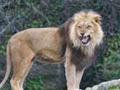 lion, мужской, львы