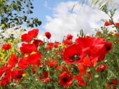 маки, polne, kwiaty