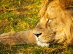 lion, sleeping, отдыхе