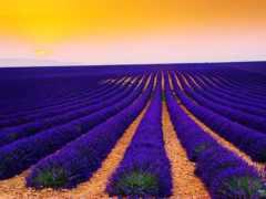 поле, lavender, лавандовое