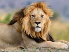 león, fondo, humo