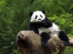 панда, сидит, дереве