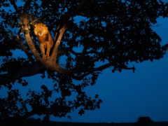 lion, парке, дереве