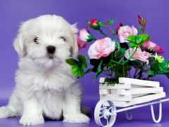 собаки, cvety, para