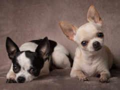 чихуахуа, собаки, две