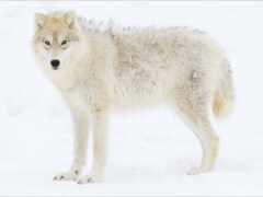 волк, tundra