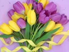 тюльпан, purple, цветы