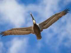 pelican, птица, браун