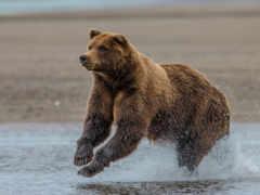 медведь на охоте