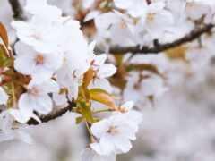 cherry, лепестки, весна