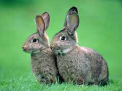 кролик, oir