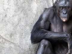 шимпанзе, sit, фон