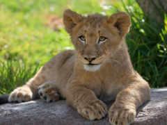 биг, cats, lion