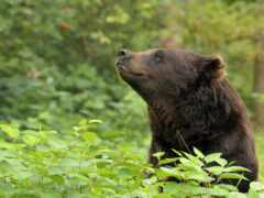 zhivotnye, медведь, orso
